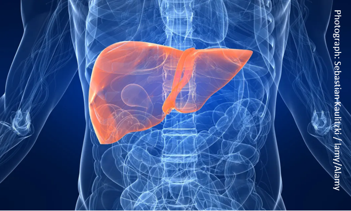 A human liver. Currently, livers are typically only stored for about nine to 12 hours on ice before transplant.